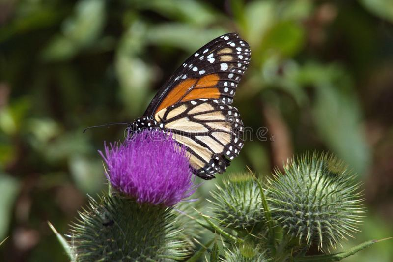 Farfalla di monarca su un cardo selvatico fotografia stock