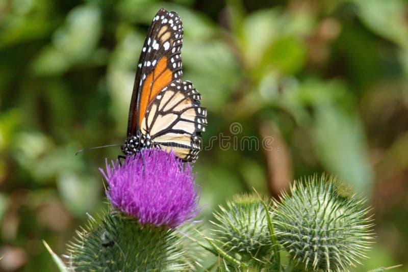 Farfalla di monarca su un cardo selvatico immagini stock