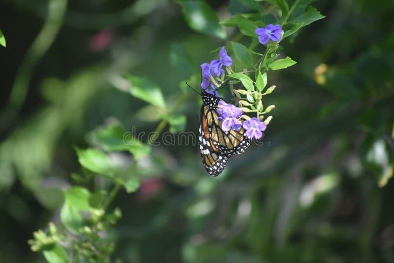 Farfalla di monarca su un fiore rosso-chiaro in un giardino immagini stock