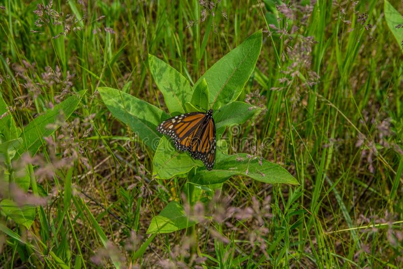 Farfalla di monarca su una pianta del milkweed immagini stock