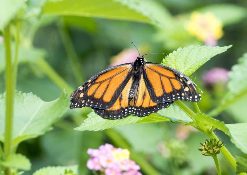 Farfalla di monarca su una pianta verde immagine stock
