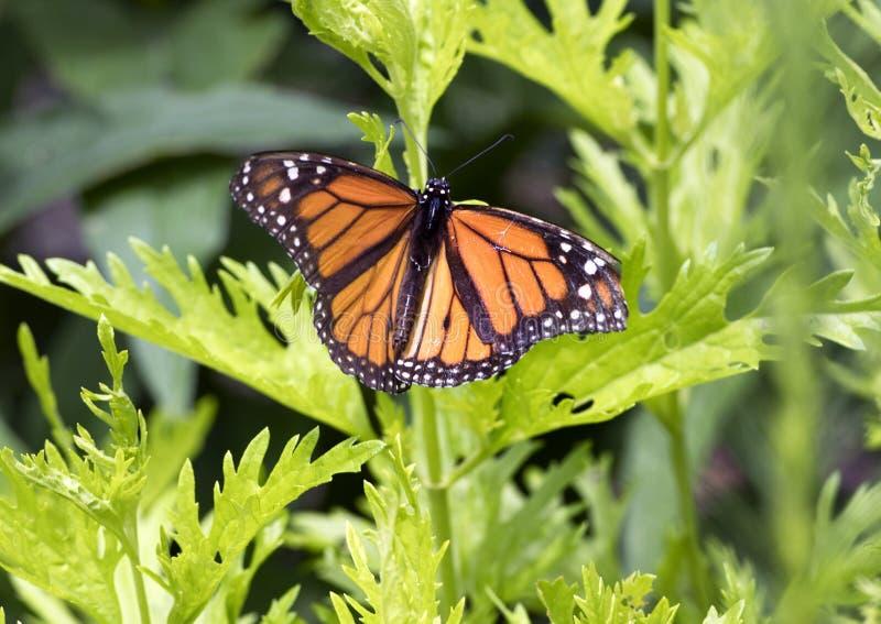 Farfalla di monarca su una pianta verde fotografie stock