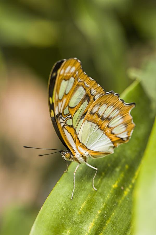 Farfalla di monarca su una pianta verde fotografia stock libera da diritti