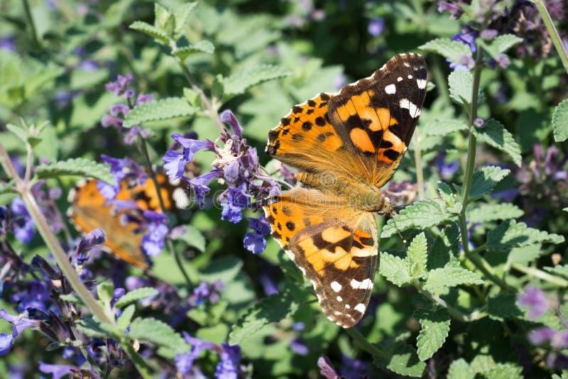 Farfalla di monarca sui fiori blu fotografia stock libera da diritti