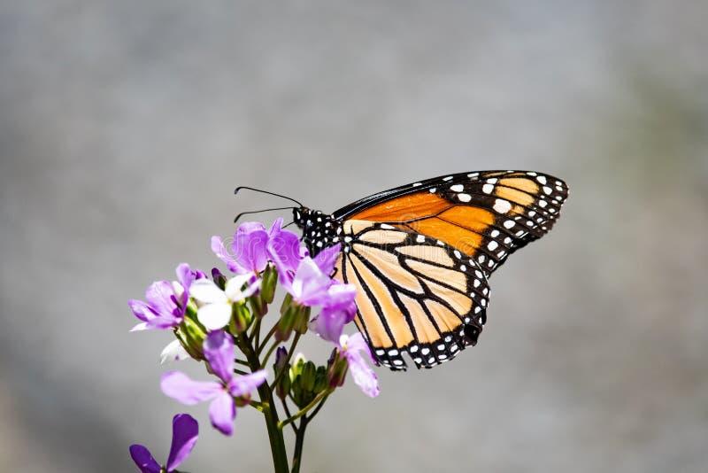 Farfalla di monarca sul fiore del Rocket delle Dame immagini stock