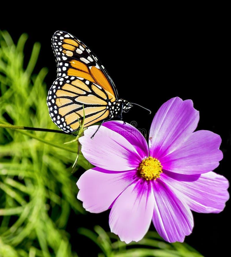 Farfalla di monarca sul fiore porpora rosa dell'universo fotografia stock
