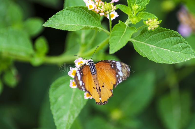 Farfalla di monarca sulla lantana Camara Flower fotografie stock libere da diritti