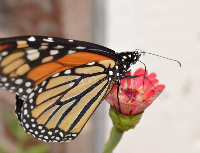 Farfalla di monarca sulla zinnia immagini stock libere da diritti