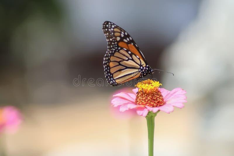 Farfalla di monarca sulla zinnia rosa - fuoco selettivo con fondo vago pallido fotografie stock libere da diritti