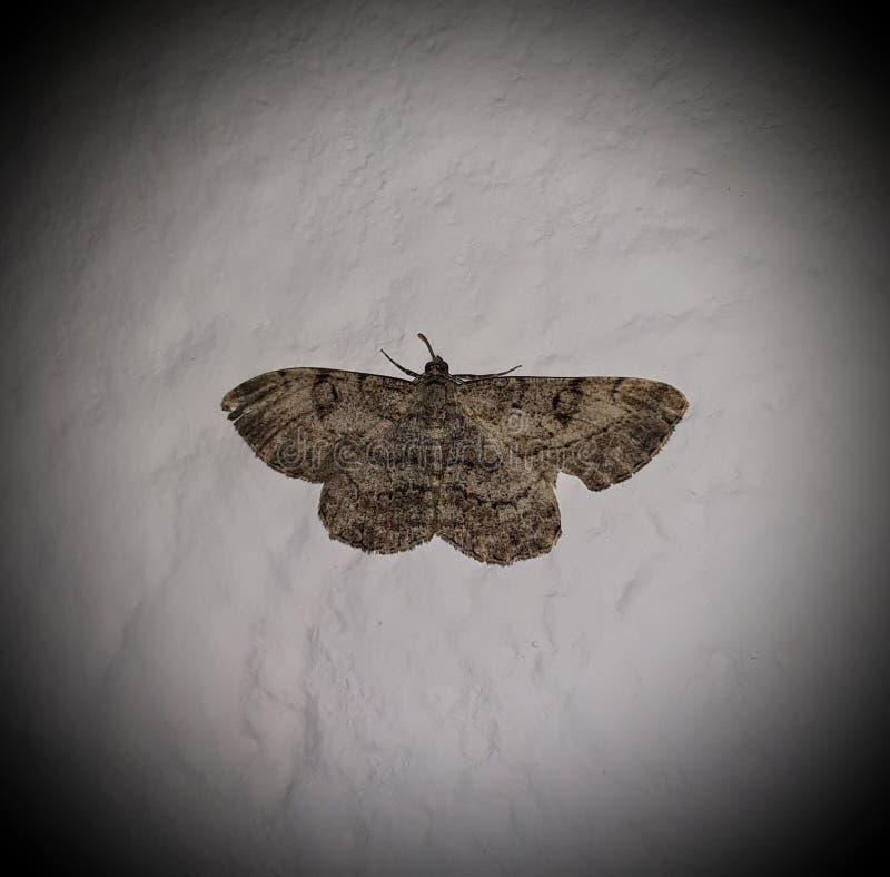 Farfalla di notte fotografia stock