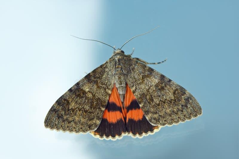Farfalla di notte con il primo piano arancio colorato delle ali dell'interno alla finestra macro strisciante dell'insetto sulla v immagine stock