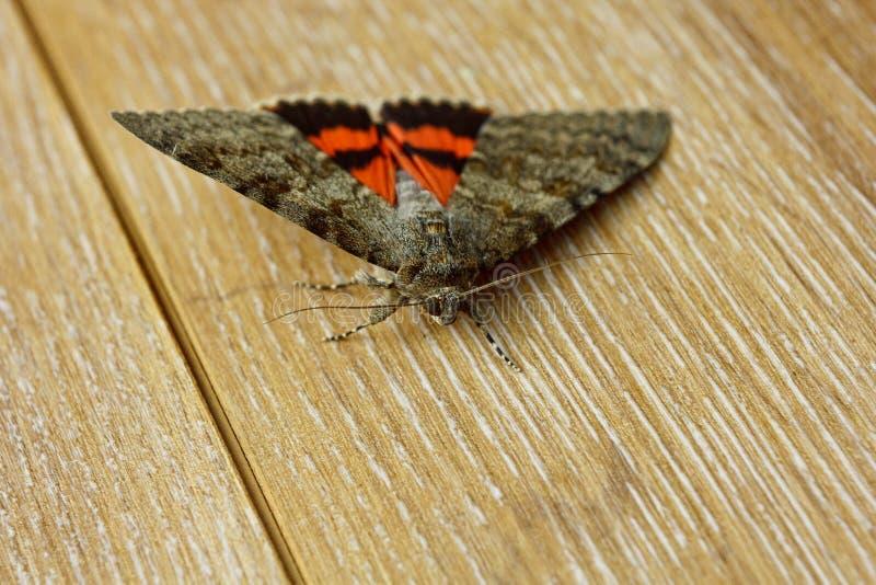 Farfalla di notte con il primo piano arancio colorato delle ali dell'interno macro insetto strisciante sulla vista rustica di leg fotografie stock