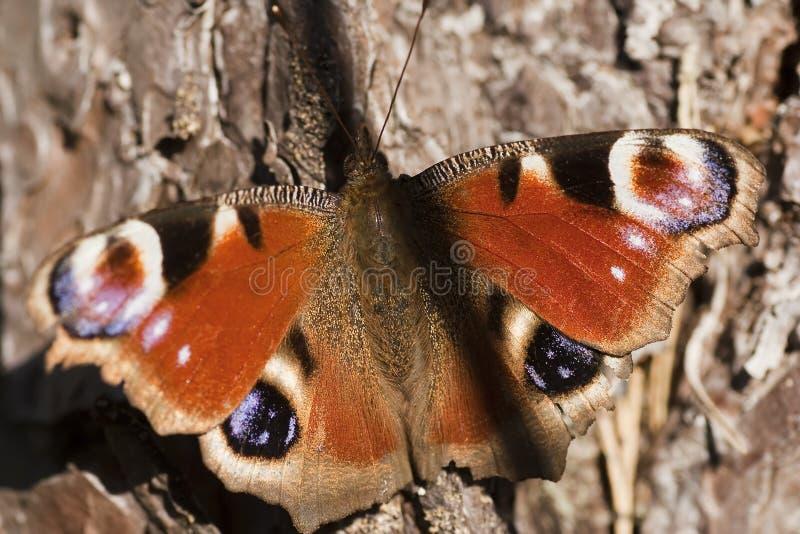 Farfalla di pavone fotografie stock