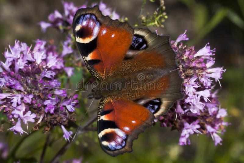 Farfalla di pavone fotografia stock