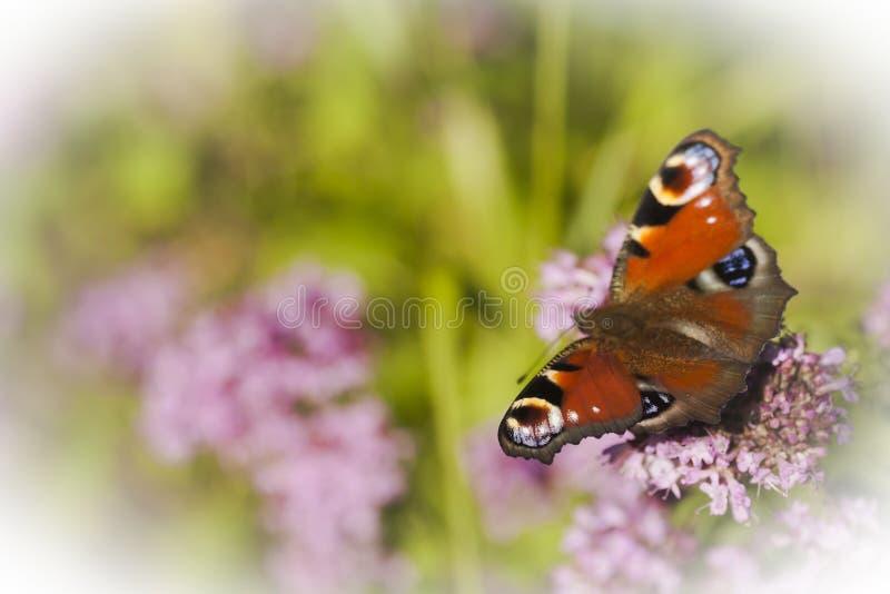 Farfalla di pavone fotografia stock libera da diritti