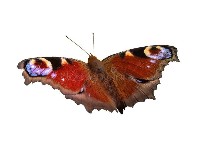 Farfalla di pavone Aglais Io - appostarsi isolato fotografia stock