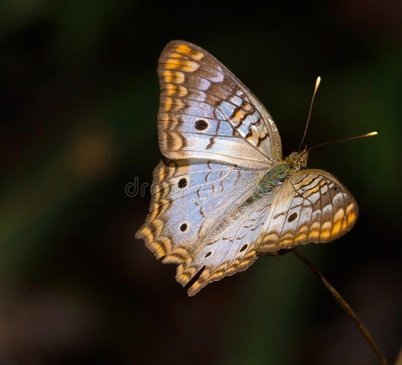 Farfalla di pavone bianca ai giardini botanici di Florida fotografia stock libera da diritti