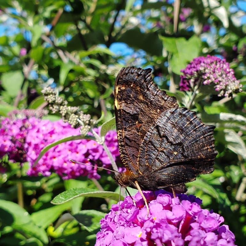 farfalla di pavone con le ali chiuse vicine sulla macro fotografie stock