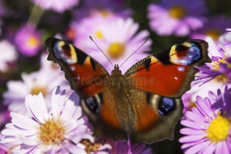 Farfalla di Peackock dell'europeo immagini stock