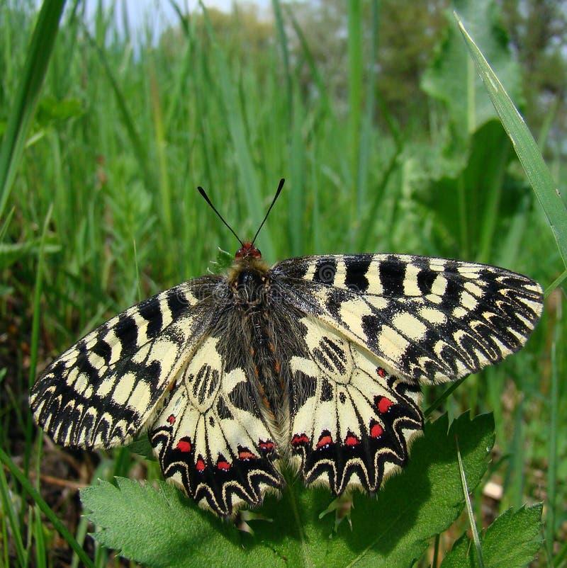 Farfalla di Polyxene immagini stock libere da diritti