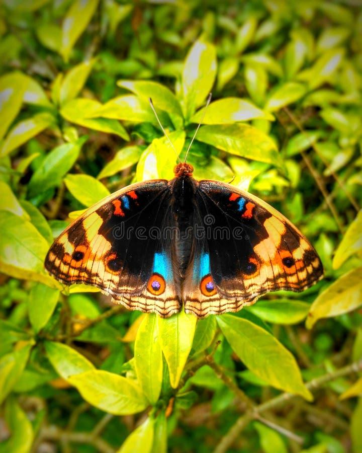 Farfalla di Reog fotografia stock libera da diritti