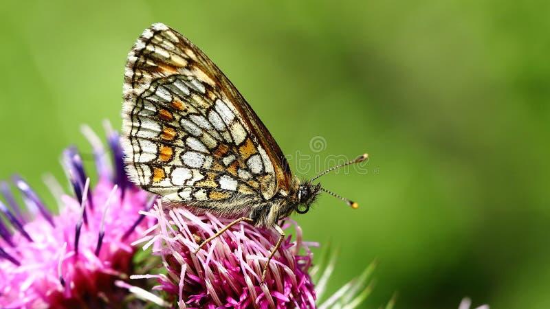 Farfalla di sonno fotografie stock