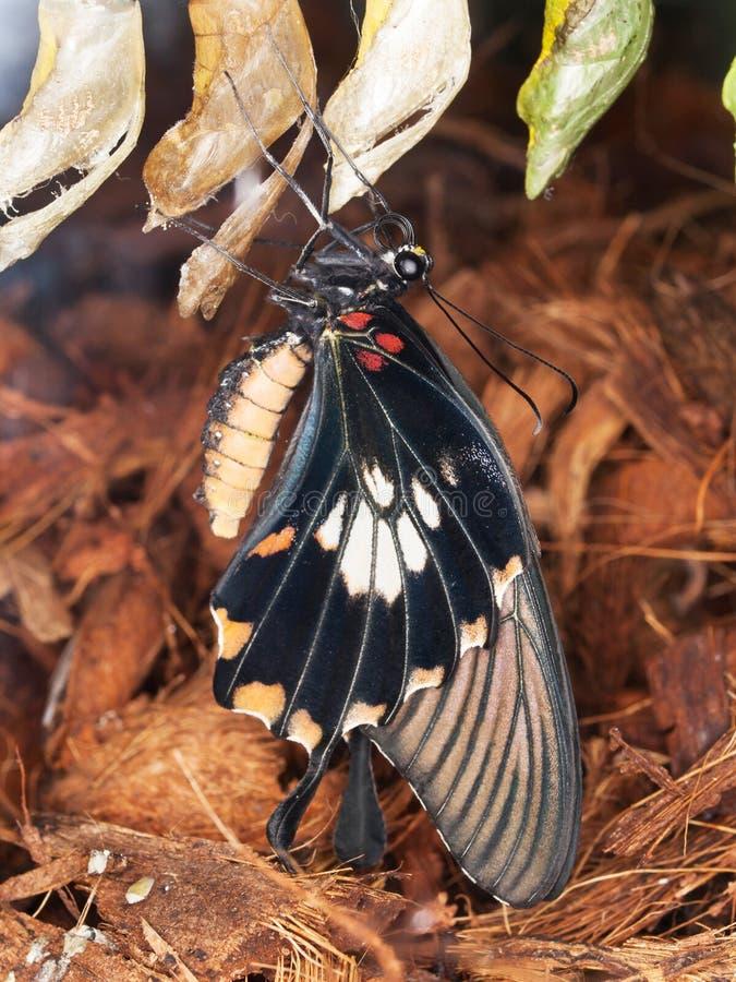 Farfalla di Swallowrail che cova dalle crisalidi - anchisiades di Papilio immagine stock libera da diritti