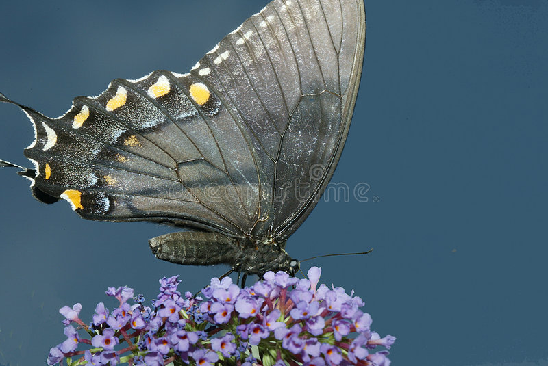 Farfalla di Swallowtail immagine stock