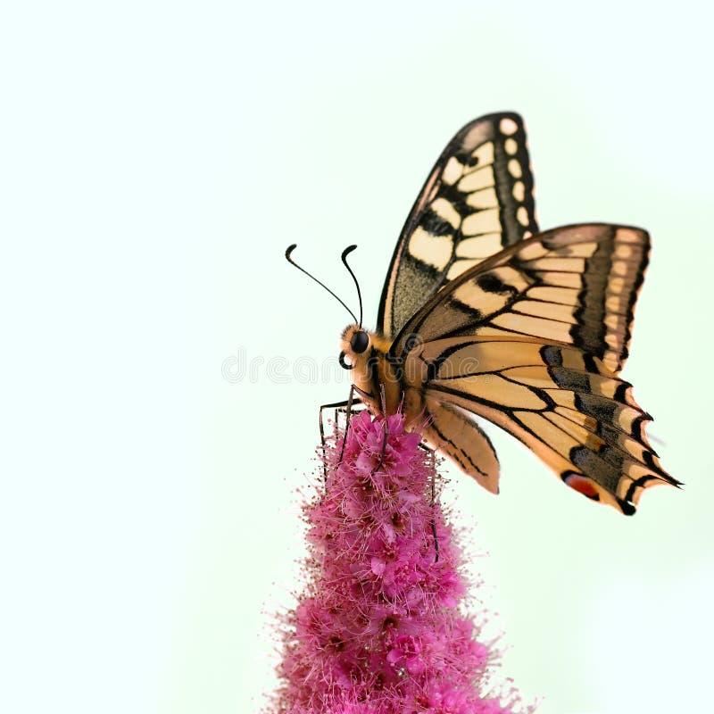 Farfalla di Swallowtail fotografia stock