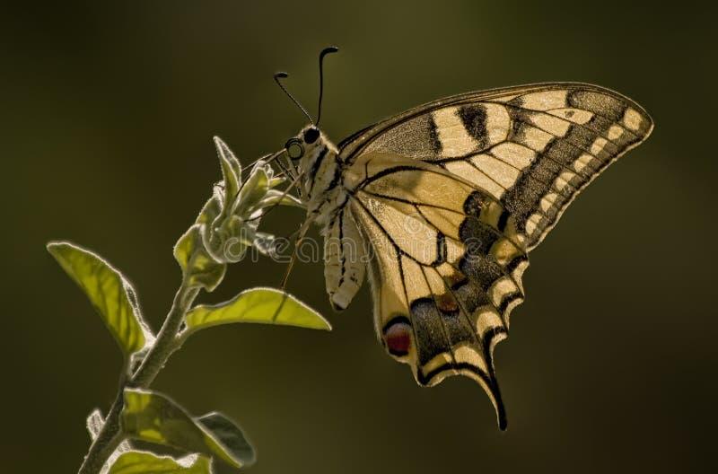 Farfalla di Swallowtail della tigre fotografie stock libere da diritti