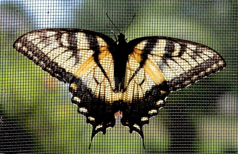 Farfalla di Swallowtail della tigre di Pasqua fotografie stock