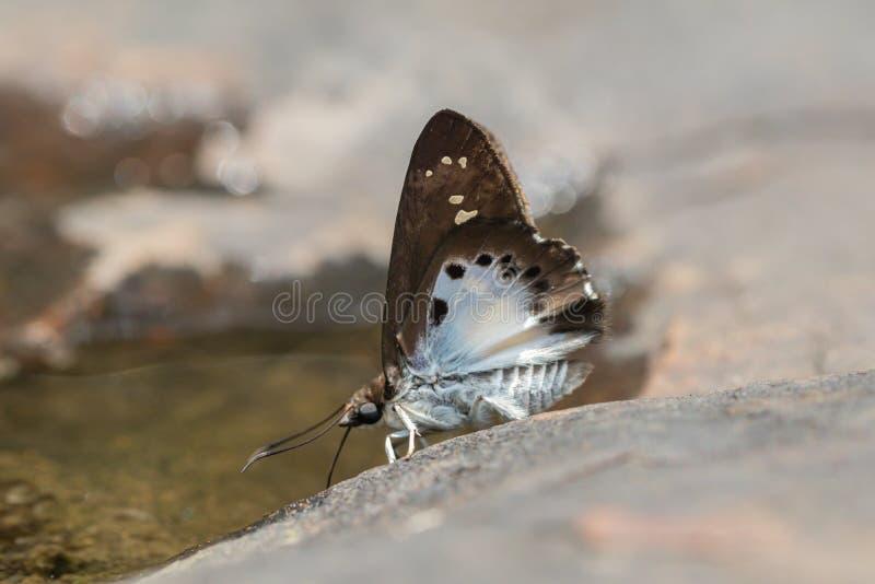 Farfalla di Tagiades Japetus della neve comune e fondo piani del bokeh in natura fotografia stock