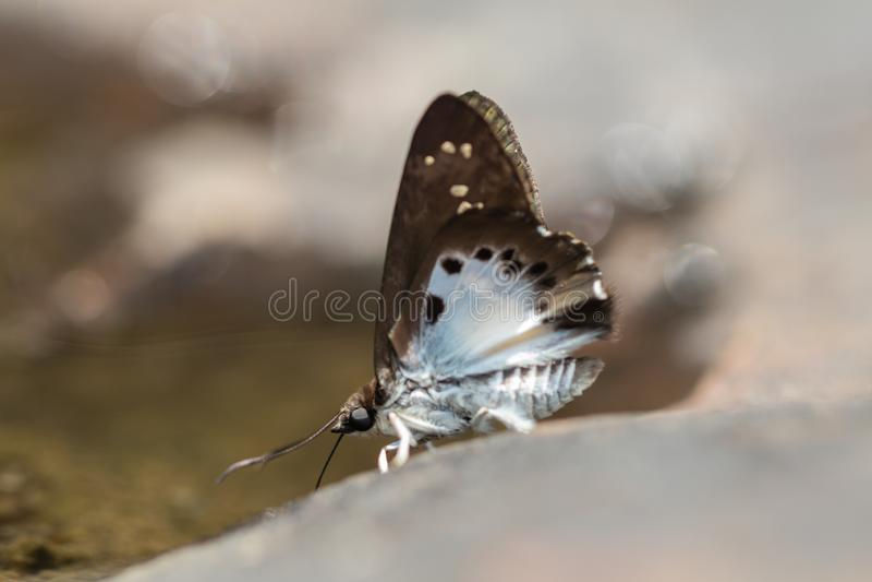 Farfalla di Tagiades Japetus della neve comune e fondo piani del bokeh in natura fotografia stock libera da diritti