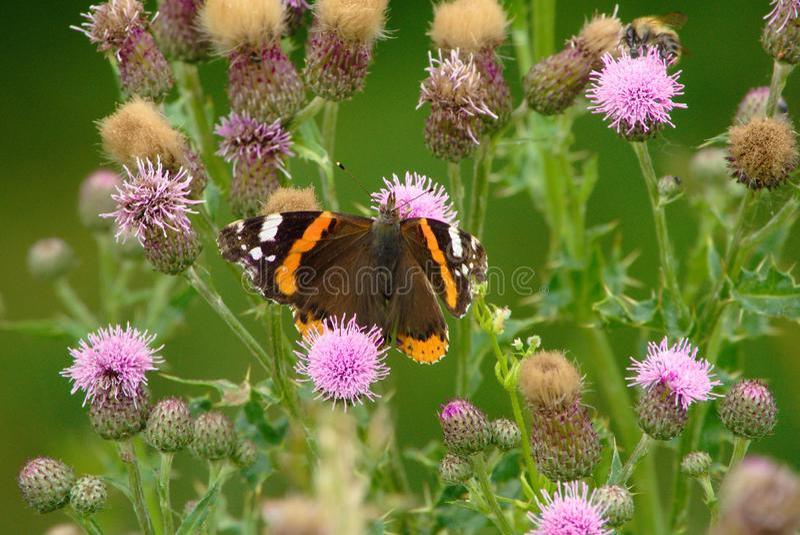 Farfalla di Vanessa Atalanta fotografia stock