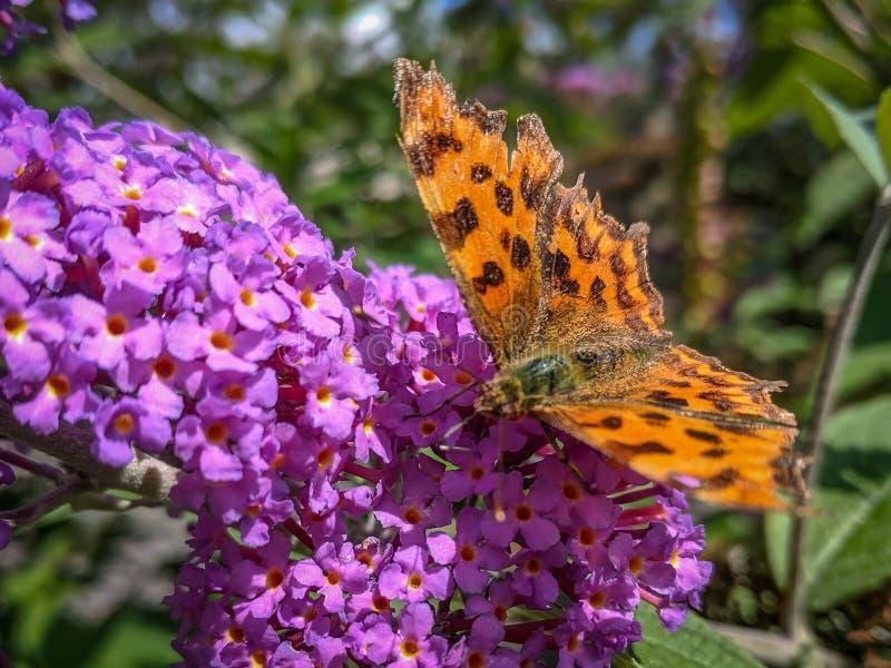 Farfalla di virgola asiatica su un Buddleia fotografia stock libera da diritti
