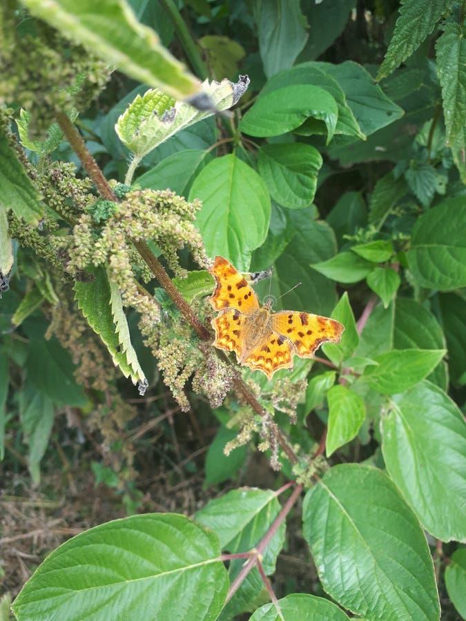 Farfalla di virgola Aurelia fotografia stock libera da diritti