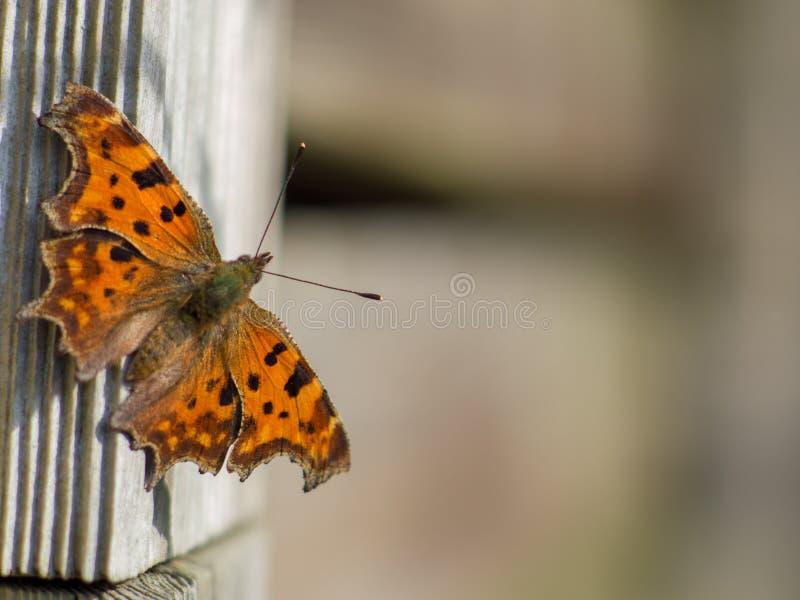 Farfalla di virgola su legno fotografie stock