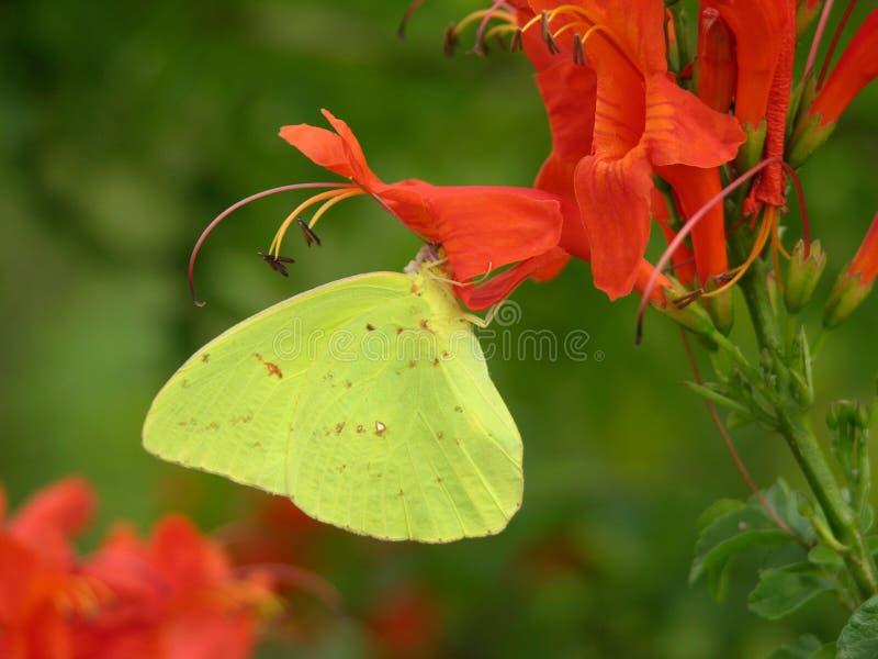 Farfalla di zolfo fotografia stock