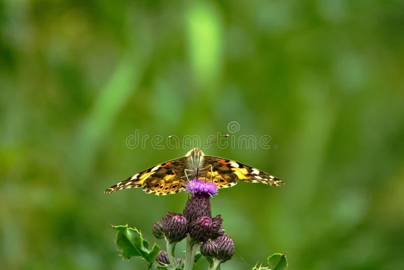 Farfalla dipinta di signora su un fiore del cardo selvatico fotografia stock