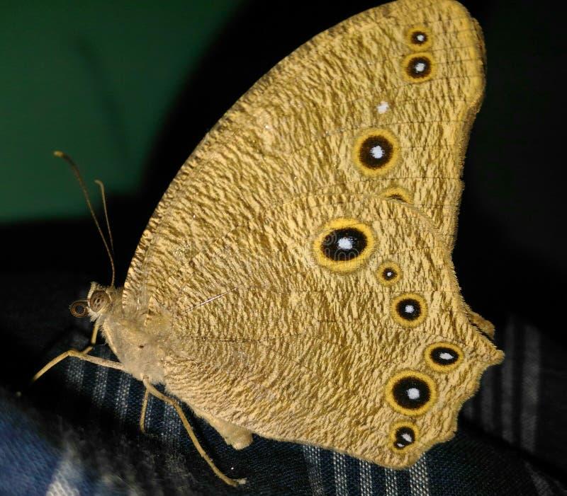 Farfalla dorata fotografia stock