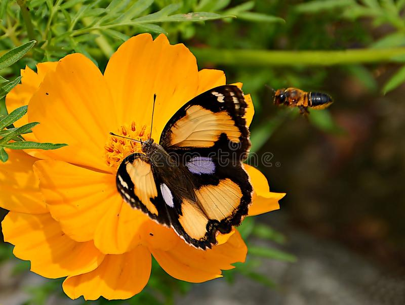 Farfalla e ape fotografie stock libere da diritti