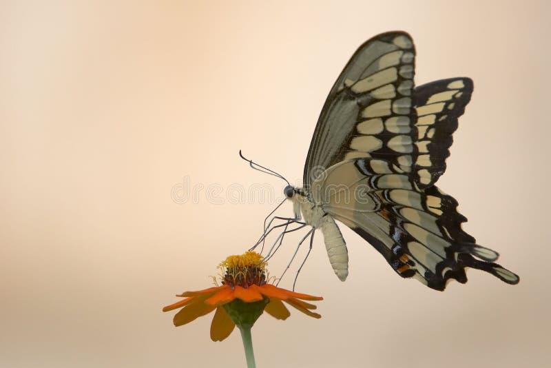 Download Farfalla e fiore immagine stock. Immagine di insetto, mosca - 215519
