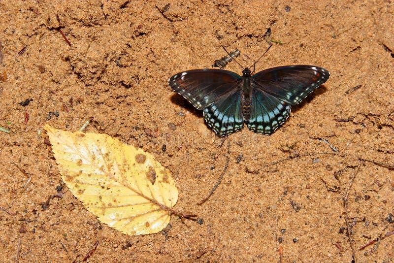 Farfalla e foglio fotografia stock libera da diritti