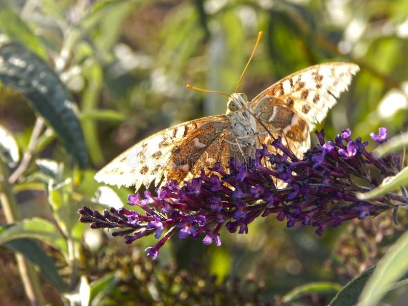 Farfalla e lavanda fotografie stock