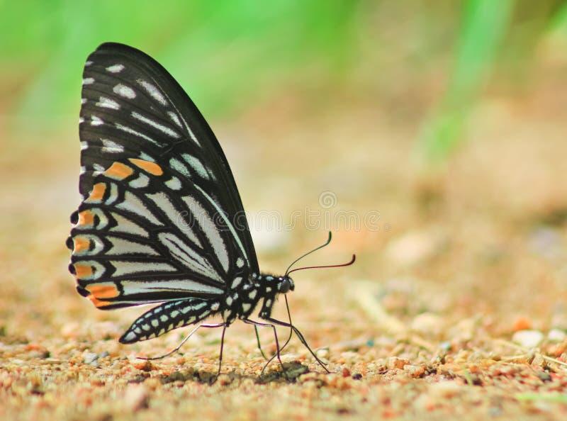 Farfalla et minerale comuni del mimo in sabbia immagine stock libera da diritti