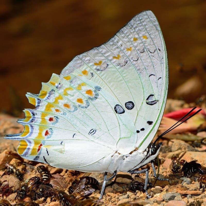 Farfalla gemmata di Nawab immagine stock