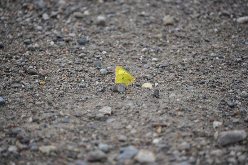 farfalla gialla fotografie stock libere da diritti