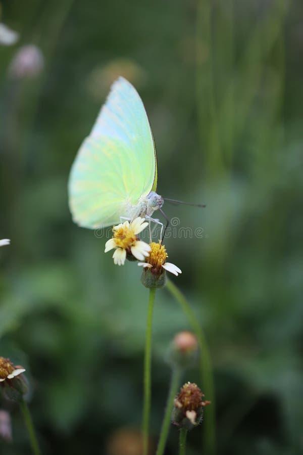 Farfalla gialla bella, polline nella foresta naturale di estate, fondo verde vago di fiuto della foglia immagine stock