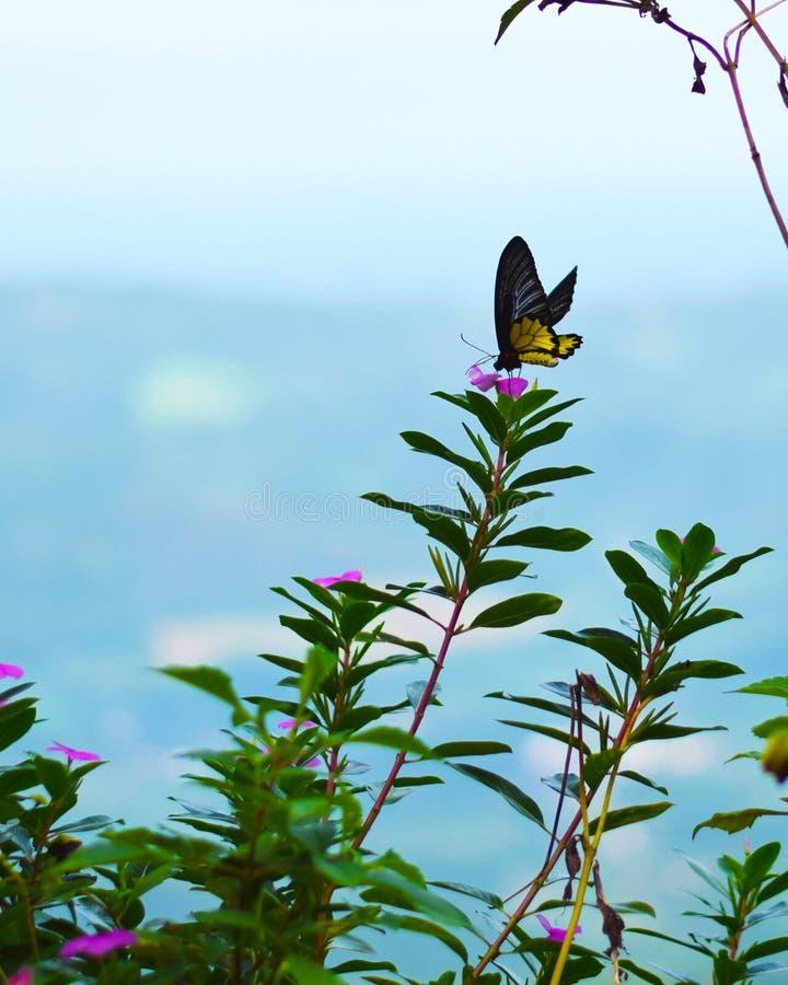 Farfalla gialla che si alimenta un giorno soleggiato fotografia stock