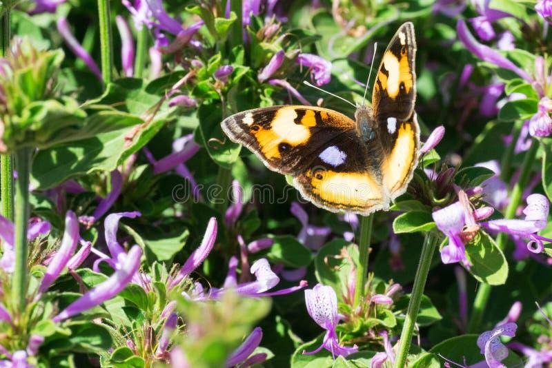 Farfalla gialla della pansé in cespuglio porpora fotografie stock libere da diritti